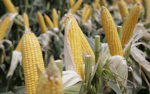 Desarrollo del cultivo de maíz en Misiones