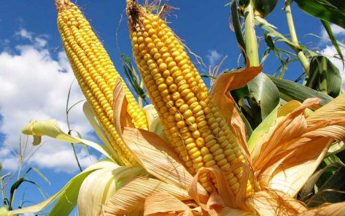 El maíz mejoró la condición hídrica en época de rindes